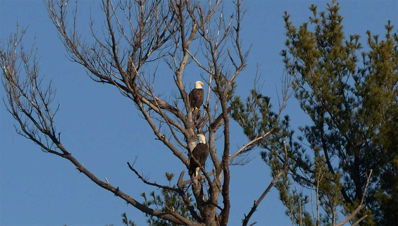 Bald Eagle pair spotted in Waterloo Sunday